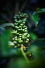 Geisha - Coffee Beams (mestremur) Tags: coffee geisha beams cafe arbol planta plant bush tree