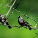 Juvenile cowbirds a pair (foto tuerco) Tags: cowbirds