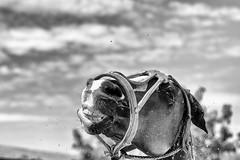 Water Polo (johann walter bantz) Tags: blackdiamond simplysuperb fun 85mm nikond4s monochrome summer water poloclub chantilly domainedepoloclubdechantilly horses cheval