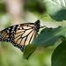 Monarch (gmspanek) Tags: monarch