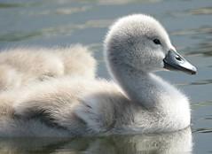 Fluffy! ('cosmicgirl1960' NEW CANON CAMERA) Tags: north cymru wales llanfairfechan gwynedd snowdonia eryri swans cygnets young juvenile babies nature yabbadabbadoo