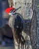 male Pileated Woodpecker (wplynn) Tags: wild bird birds avian castleton indianapolis indiana midwest male pileated woodpecker hylatomus pileatus