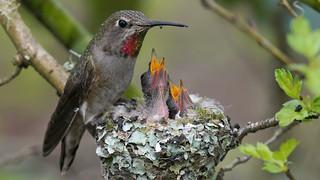 Anna Hummingbird Feeding Young