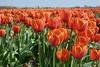 DSC04593 (derek_2001) Tags: tulips noordwijk holland bollenveld field