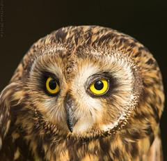 Hibou des marais Asio flammeus - Short-eared Owl (Julien Ruiz) Tags: hibou des marais asio flammeus shorteared owl