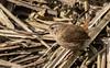 9Q6A9640 (2) (Alinbidford) Tags: alancurtis alinbidford brandonmarsh nature wildbirds wildlife wren