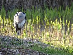 Headless Heron (LouisaHocking) Tags: heron forest farm cardiff birds bird british nature wildlife wild