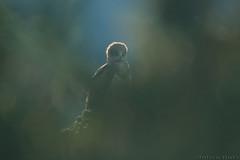 Circaète Jean-le-Blanc Circaetus gallicus - Short-toed Snake Eagle (Julien Ruiz) Tags: circaète jeanleblanc circaetus gallicus shorttoed snake eagle canon ef 600mm f4l is ii usm