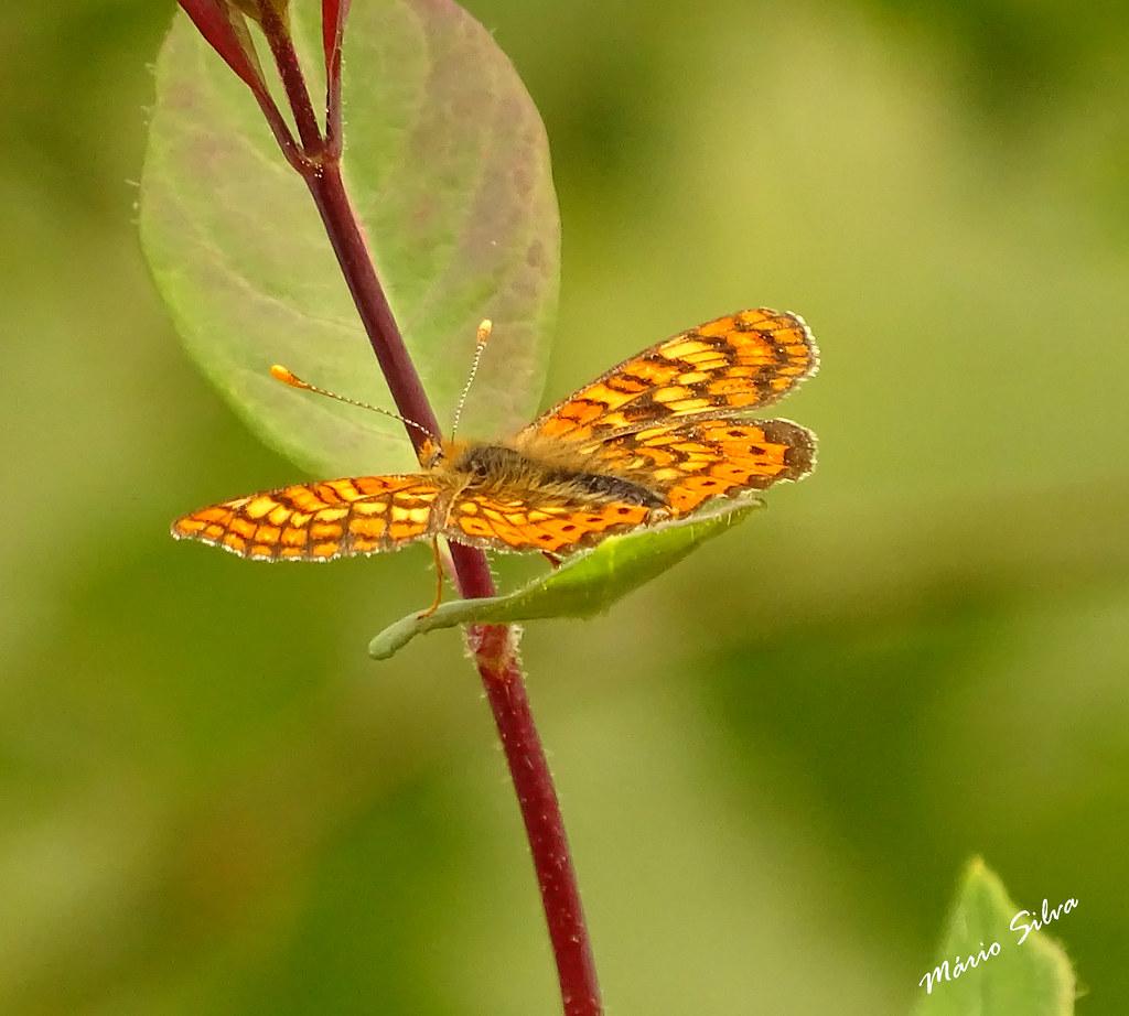 Águas Frias (Chaves) - ... borboleta em tenra planta ...