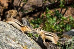 Nosey (ac4photos.) Tags: chipmunk nature wildlife animal colorado naturephotography wildlifephotography animalphotography nikon d500 tamron150600 ac4photos ac