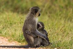 South_Arica_2018_38 (s4rgon) Tags: addoelephantnationalpark addoelephantpark animals gardenroute natur nature southafrica südafrika tiere vervetmeerkatze vervetmonkey