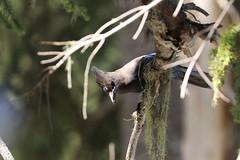 Stellar's Jay (Zach Hawn) Tags: mountrainier mountainwildlife wildlife hiking nps nationalparkservice pacificnorthwest pnw wander mrnp mora nationalpark findyourpark outdoors washington western piercecounty westsideroad animal