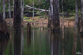 Amazon giant otters