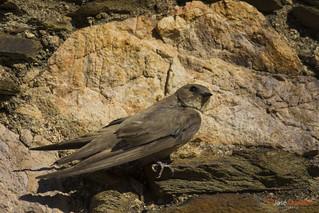 Andorinha-das-rochas | Crag Martin | Avión Roquero | Hirondelle de rochers | Rondine montana | Ptyonoprogne rupestris