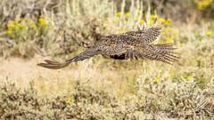 Greater Sage-Grouse (Bob Gunderson) Tags: birds bodiestatepark california centrocercusurophasianus greatersagegrouse grouse monocounty northerncalifornia sierras uplandbirds