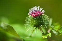 Burdock flower (takapata) Tags: sony sel90m28g ilce7m2 macro nature flower