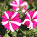 Petunia Amore joy