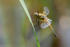 four-spotted chaser (klaus.huppertz) Tags: heilbronn odonata libellulidae segellibellen natur nature outdoor wildlife tier animal insect insekt libelle dragonfly makro macro fourspottedchaser fourspottedskimmer vierfleck libellulaquadrimaculata fauna nikon nikond850 d850 nikkor 200mmf4dmicro