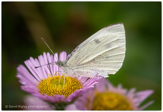 Wood white (daverigleyphotos) Tags: wood white olympus em1mk2 40150mm macro butterfly