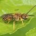 Confusing Furrow Bee - Halictus confusus, Woodbridge, Virginia