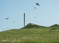 Birds (GeoKs) Tags: calgary publicart sentinels ralphkleinpark urbanpark urbannature birdwatching swallows spring nearbynature nearbynatureproject
