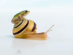 public transit (marianna_armata) Tags: frog treefrog greytreefrog snail riding publictransit slow fast cute funny story macro marianna armata