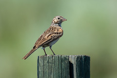 Clarke_180619_6628.jpg (www.raincoastphoto.com) Tags: birds vespersparrow birdsofbritishcolumbia birdsofnorthamerica sparrows birdsofcanada