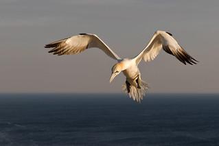 Northern gannet - Basstölpel