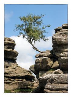 The Lone Tree (Brimham Rocks)