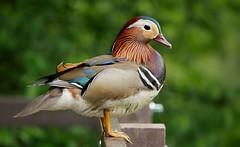 Mandarin duck (PhotoLoonie) Tags: duck mandarinduck perchingduck waterbird aixgalericulata bird nature wildlife colours colourful feathers harrisonsplantation raleighpond