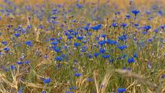 wild cornflowers - wilde Kornblumen (ralfkai41) Tags: cornflowers plant pflanzen outdoor corn nature field blüten kornblumen feld blossom getreide natur blumen