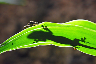 žutoglavi patuljasti macaklin (Lygodactylus kimhowelli / Yellow Headed Dwarf Gecko / Gelbkopf-Taggecko)