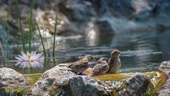 Baignade (pascal548) Tags: moineau oiseau bird