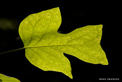 Yellow Poplar (mswan777) Tags: trail hike 70300mm sigma black d5100 nikon stevensville michigan nature outdoor shape point texture detail green forest wood tree leaf macro