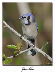 Geai bleu / Blue Jay 153A5209 (salmo52) Tags: oiseaux birds salmo52 alaincharette geaibleu bluejay corvidés bonaventure cyanocittacristata passériformes corvidae