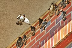 Cliff Swallow Hotel (Jan Nagalski) Tags: birds wildlife nature nest birdnest swallownest swallow cliffswallow bif birdinflight flyingbird colony swarm denver commercecity colorado jannagalski jannagal