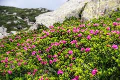 du col de las Fouzès à l'étang d'Alate (Ariège) (PierreG_09) Tags: ariège pyrénées pirineos couserans auluslesbains occitanie midipyrénées eu flor flore fleur rhododendronferrugineux rhododendronferrugineum