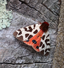 Garden Tiger (StJohn Smith1) Tags: closeups insects lepidoptera moths macromoths tigers british sussex garden visitors special beautiful