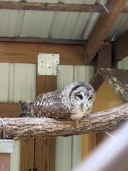 Barred Owl at David Crockett State Park (jim324w) Tags: vacation july 2018 davidcrockettstatepark barredowl bird owl park