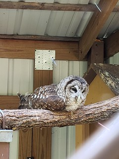 Barred Owl at David Crockett State Park