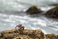 POTD 198 (Webtraverser) Tags: 365picturesin2018 bokeh californiacoast crab everydayphotographerpictureoftheday g85 lowtide lumix micro43 ocean pad2018198 pictureaday sequitpoint malibu california unitedstates us