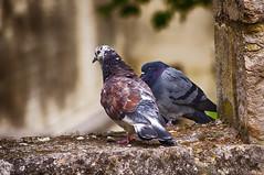 Les pigeons (delphine imbert) Tags: pigeons animaux oiseaux plumage couleurs pierre palais papes avignon nature vol envol