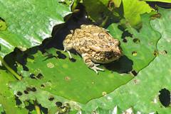 toad in the sun (raffaele pagani) Tags: mauritius island isola oceanoindiano indianocean africa spiaggia beach maretropicale tropicalsea canon