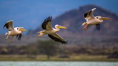 Beauty of The Nature (asifsherazi) Tags: greatwhitepelican lakeelementaita asifsherazi kenya bif pelican wildlife pakistaniwildlifephotographer