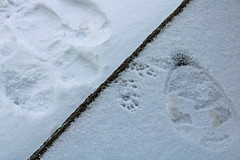 Paw Prints in Snow (A_Renee_88) Tags: paw prints animal nature winter seasons new england snow steps frozen tiny small cute adorable feet