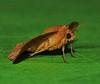 picture-winged leaf moth Striglina cinnamomea Striglininae Thyrididae Airlie Beach rainforest P1240023 (Steve & Alison1) Tags: picturewinged leaf moth striglina cinnamomea striglininae thyrididae airlie beach rainforest