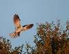 After the exchange in golden light  (Elanus leucurus) (sharp shooter2011) Tags: goldenhour whitetailedkite raptor canon birdsinflight inflight avianphotogrpahy wildlifephotography bringinginfood birdofprey naturephotography elanusleucurus