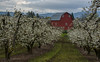 Pear Trees in Full Bloom (Nancy King Photography) Tags: pearblossoms hoodriverorchard landscape oregon hoodriver mounthood nature orchards flowers blossoms farm fruitfarm peartrees pearorchard clouds