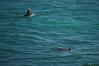 Both poking their head up (radargeek) Tags: isleofmaui maui hawaii 2017 may paia hookipabeachpark surfer surfing surf board turtle seaturtle