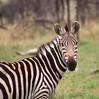 zebra (SusanKurilla) Tags: wildlife africa kenya tanzania wild safari adventure zebra bw